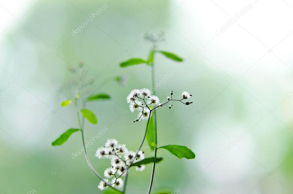 weiße Blume Unkraut in der grünen Natur — Stockfoto © SweetCrisis ...