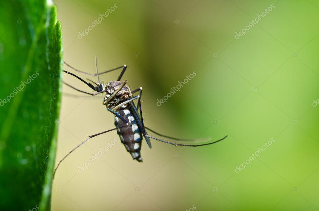 moustiques en for t ou dans le jardin est danger photographie sweetcrisis 9667130. Black Bedroom Furniture Sets. Home Design Ideas
