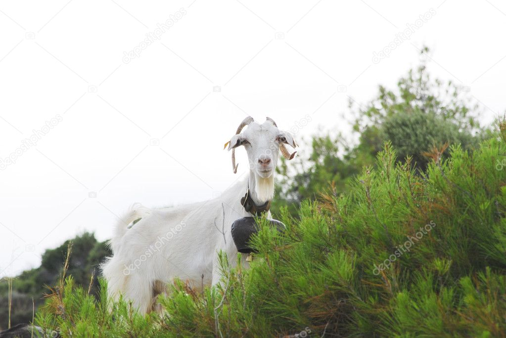 White Goat with huge bell looking
