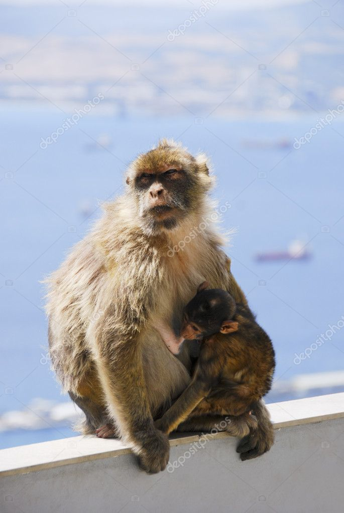 Mother Ape With Baby Breastfeeding On Wall At Gibraltar