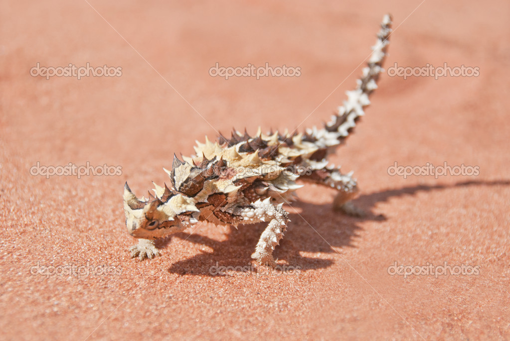 Thorny Devil Lizard with shadow on red outback sand