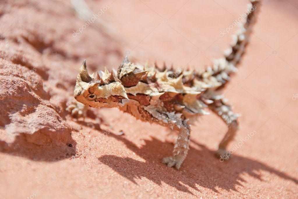 Thorny Devil Lizardand rocks with spiky shadow