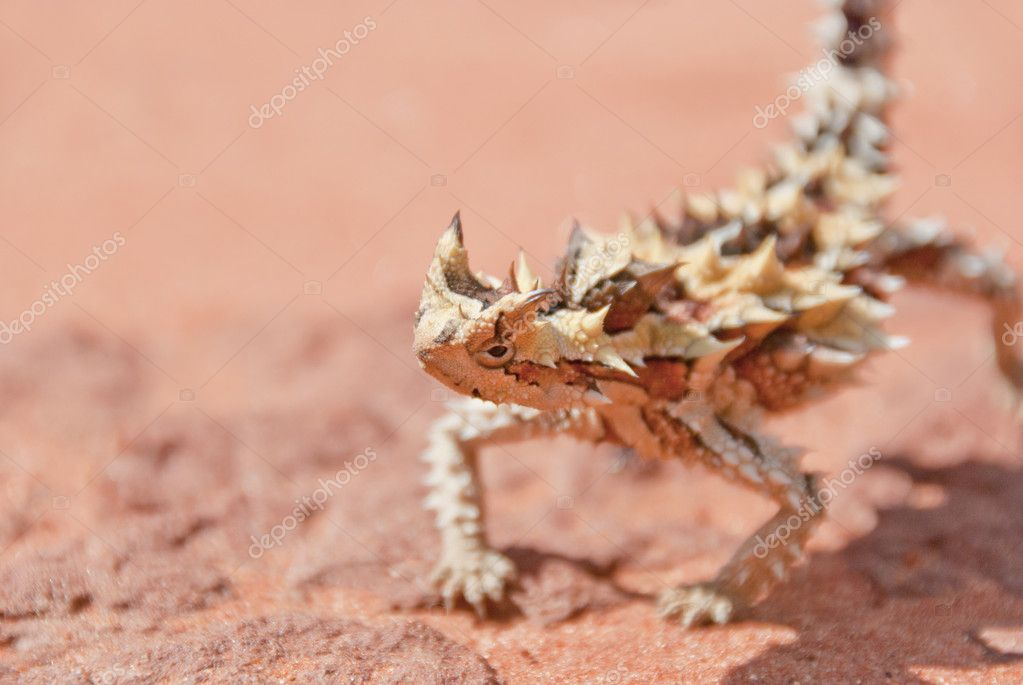 Thorny Devil Lizard looking with copy space on side