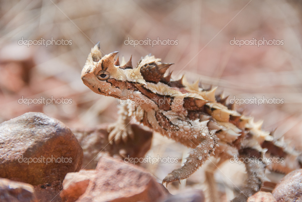 Thorny Devil Lizard climbing up some stones