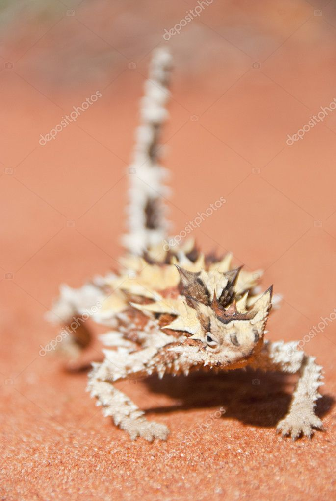 Spiky Thorny Devil Lizard on red sand looking