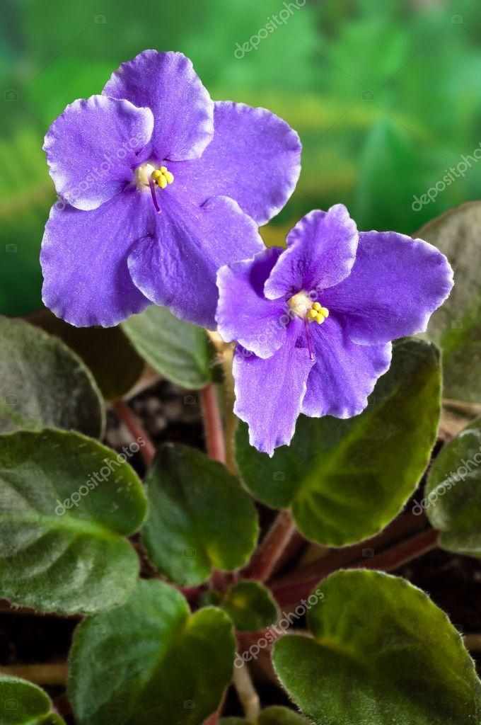 African Violet (Saintpaulia) flower
