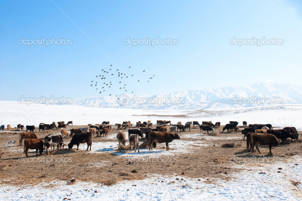Herd of cows in the background of snowy mountains