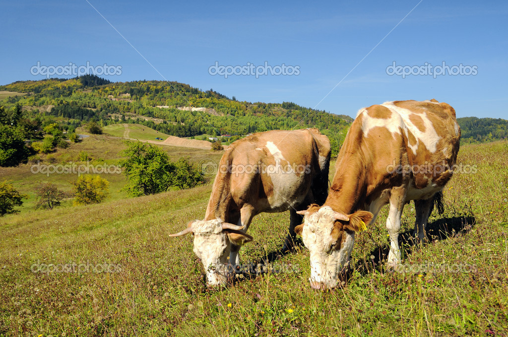 Two cows grazing in a summer landscape