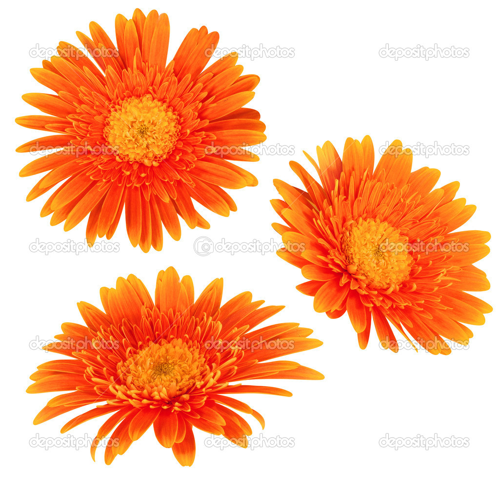 Daisy flowers isolated