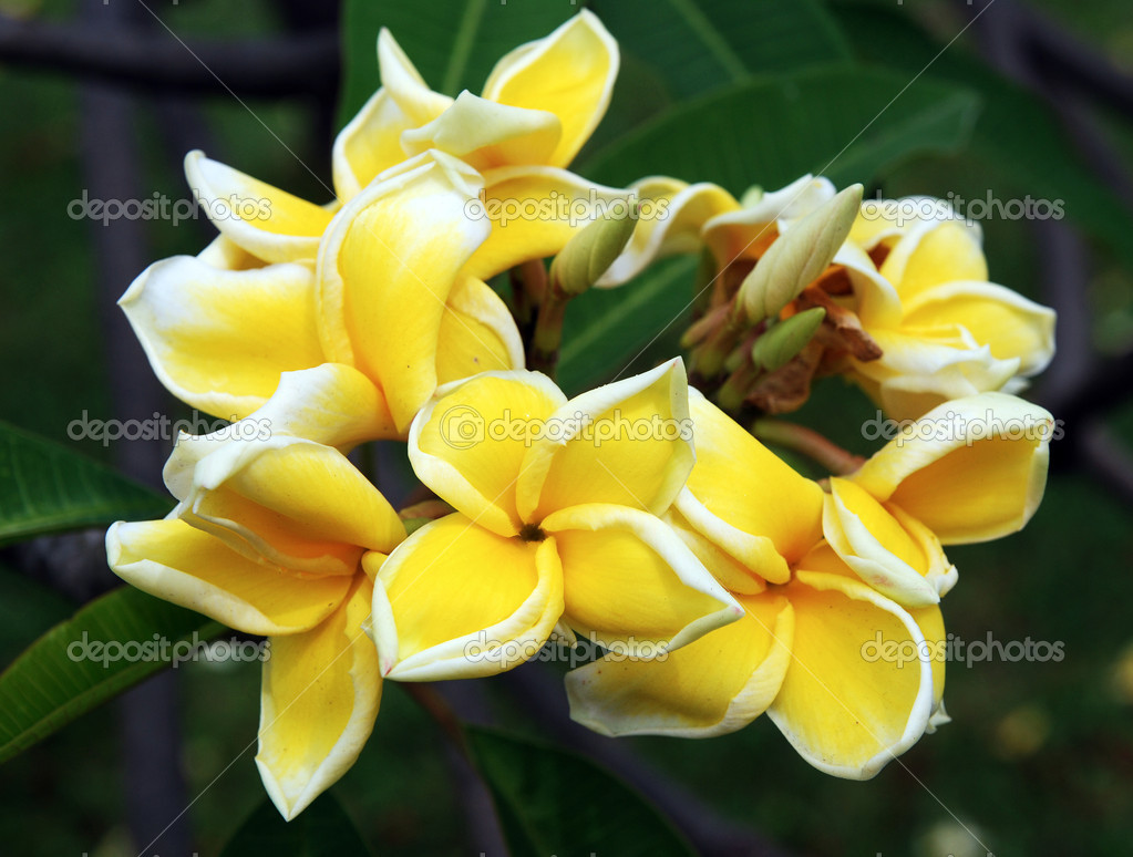 Frangipani or plumeria flowers, with black background.