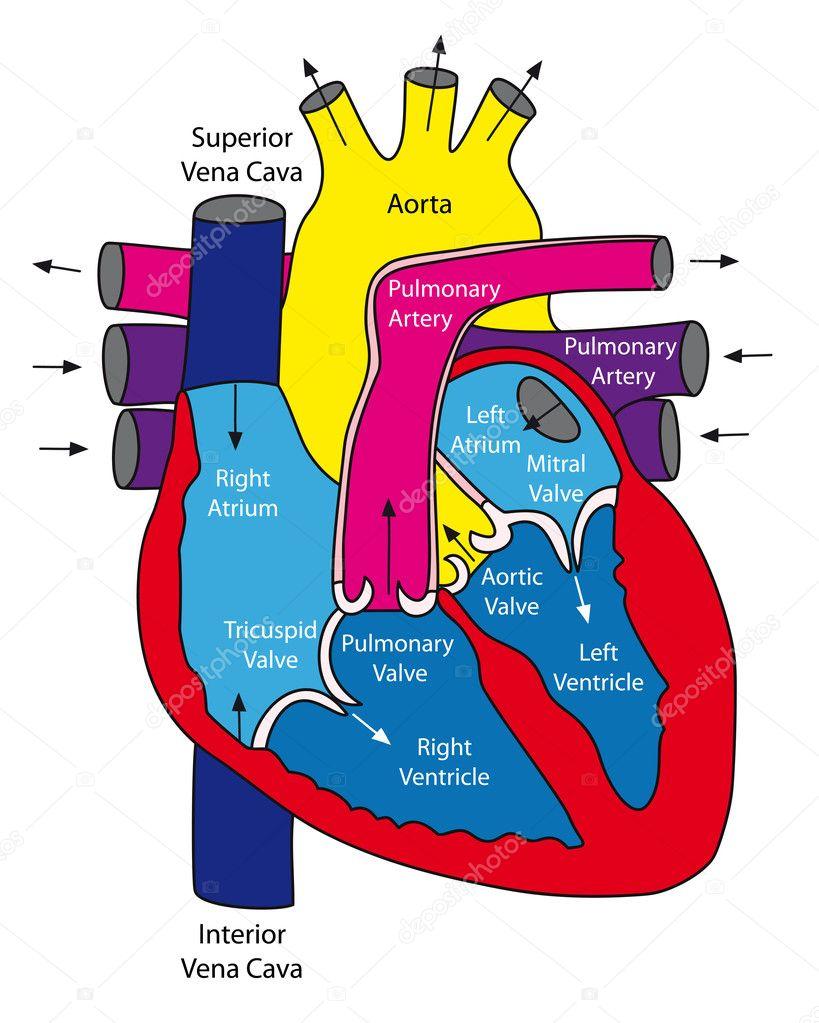 Anatomía del corazón humano — Archivo Imágenes Vectoriales ...