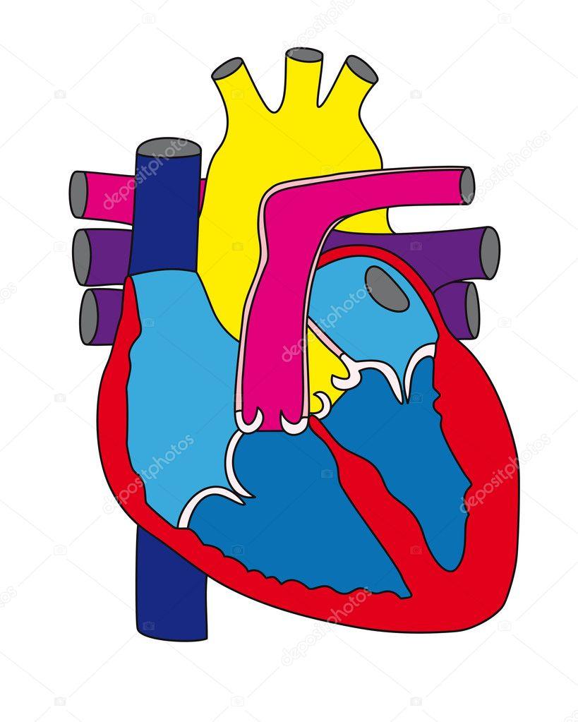 Anatomie des menschlichen Herzens 1 — Stockvektor © Maryna_Melnyk ...