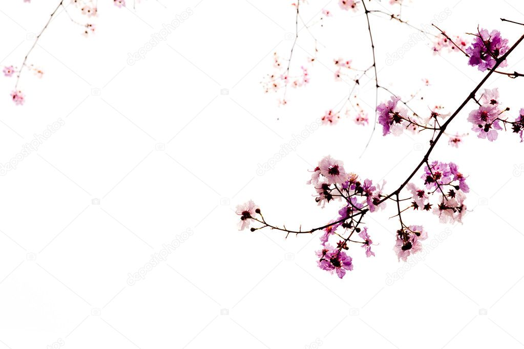 Branch of beautiful pink flower isolated on white background