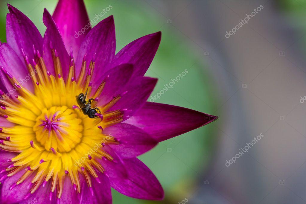 Beautiful blossom purple lotus with yellow pollen
