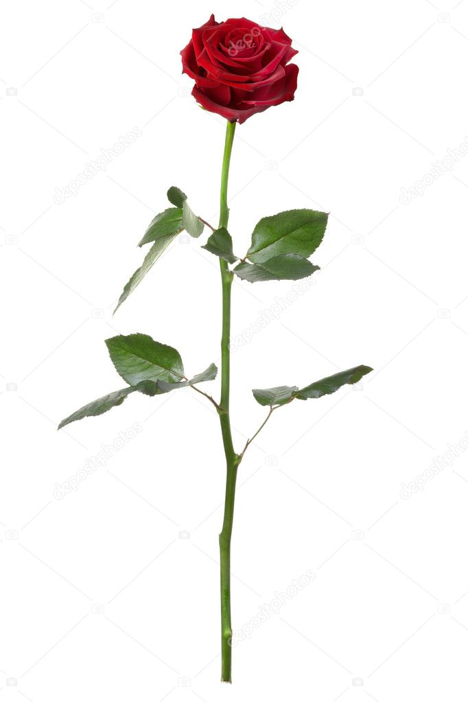 Red rose, long stem