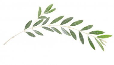 Olive branch and leaves isolated on white, clipping path included stock vector