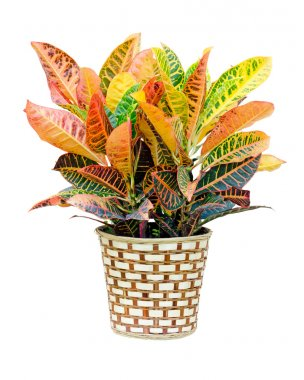 Croton house plant isolated on white background
