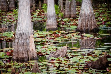 Cypress trees lily pads in Florida swamp