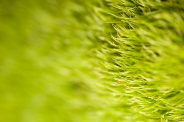 As lawn moss - Dicranella