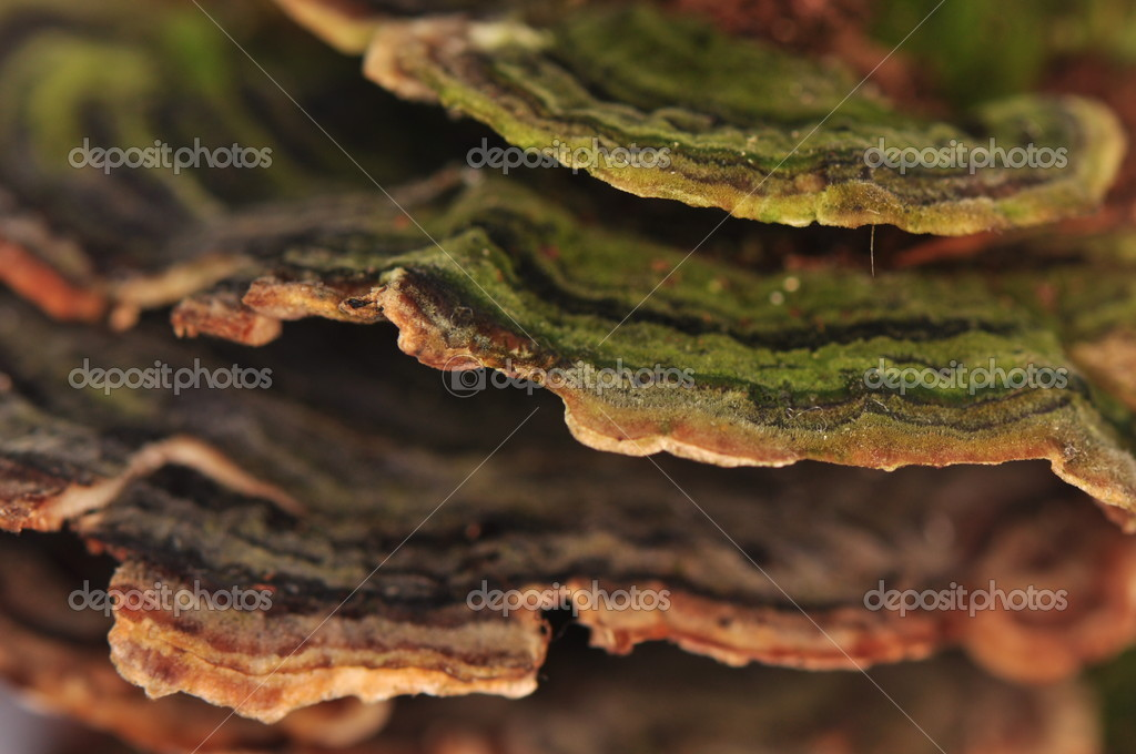 Stereum hirsutum - mushroom