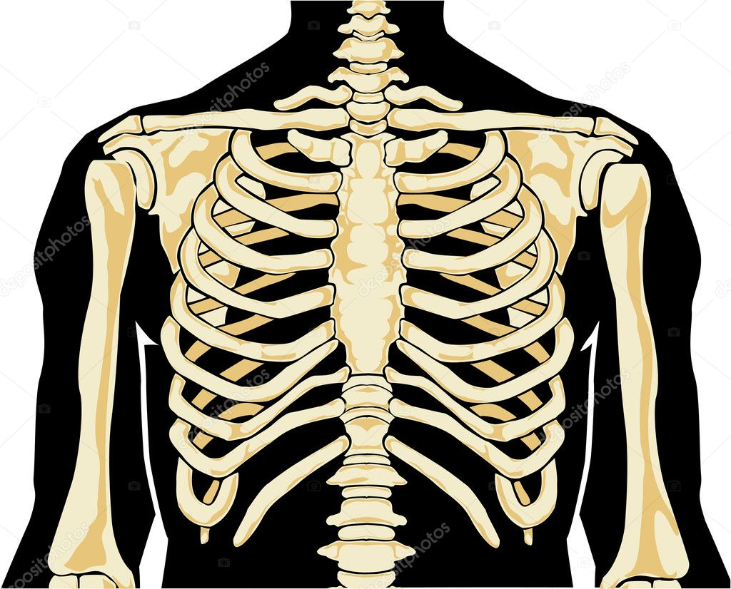 human skeleton. chest — stock vector © leopolis #8280357, Skeleton