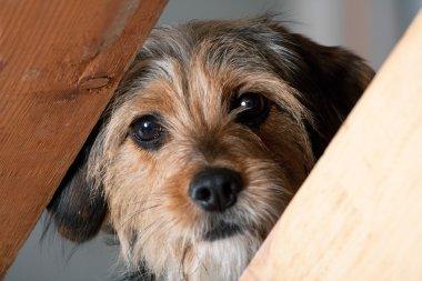 Borkie Dog Peeking Through a Gap