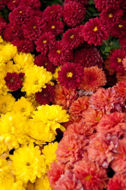 Colorful Chrysanthemums
