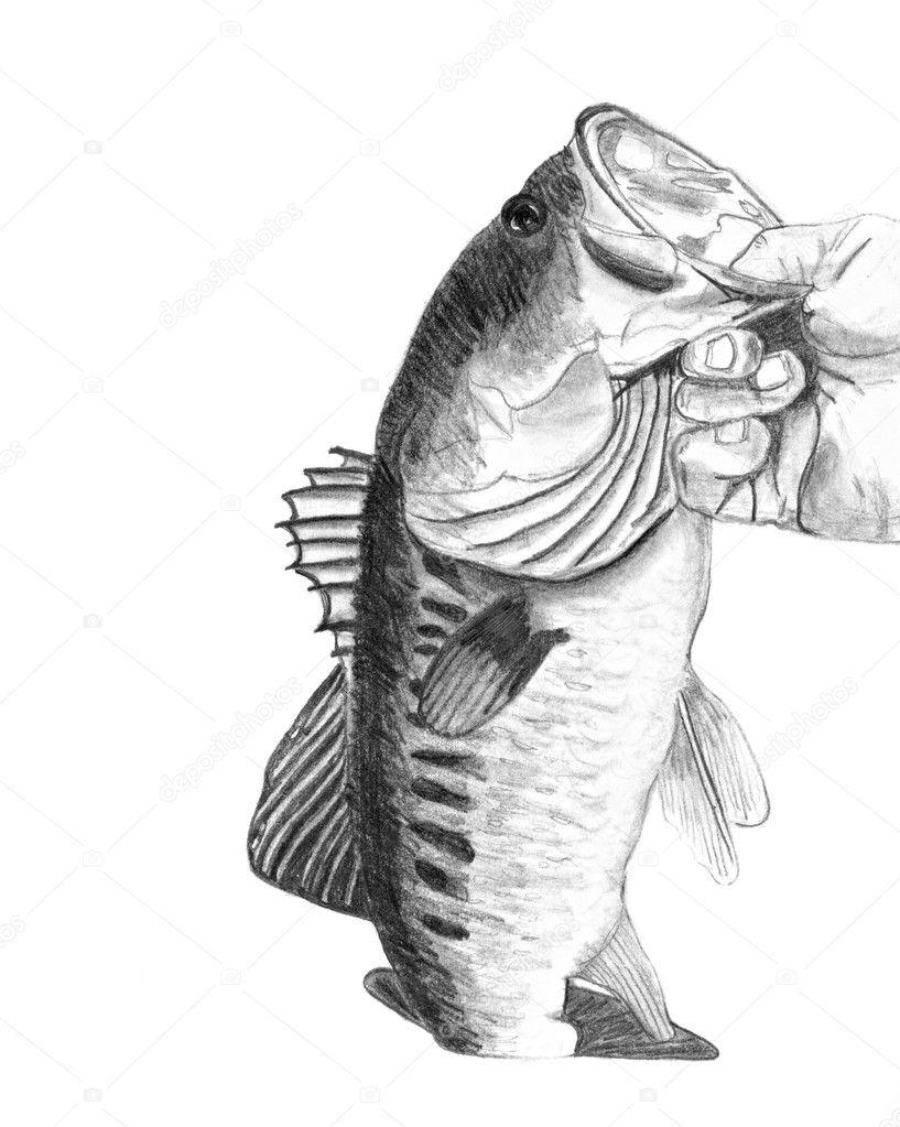 bass fish drawing u2014 stock photo arenacreative 8946977