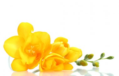 Beautiful yellow freesia isolated on white