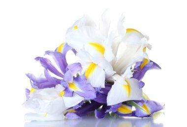 Beautiful bright irises isolated on white