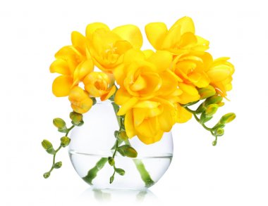 Beautiful yellow freesias in vase isolated on white