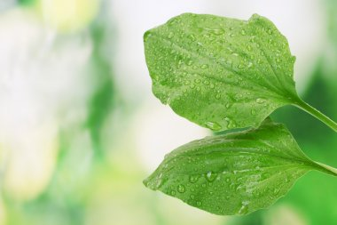 Plantain leaves with drops on green background