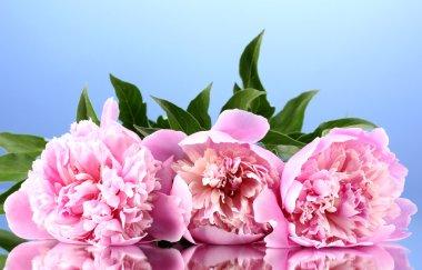 Three pink peonies on blue background