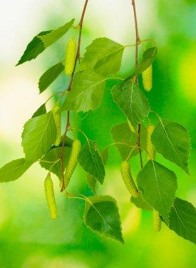 "Картина, постер, плакат, фотообои ""Зеленый березы листьев на зеленом фоне"", артикул 10730823"