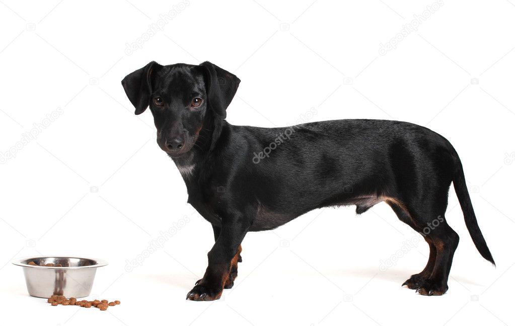 Nero Piccolo Cane Bassotto E Cibo Isolato Su Bianco Foto Stock