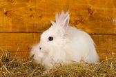 Flauschige weiße Kaninchen in einem Heuhaufen auf hölzernen Hintergrund