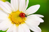 Photo Ladybud sitting on chamomile flower on green background