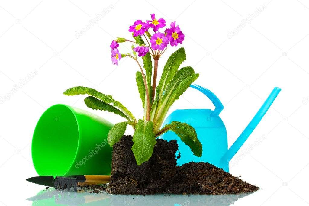 Beautiful purple primrose, soil, watering can and tools isolated on white