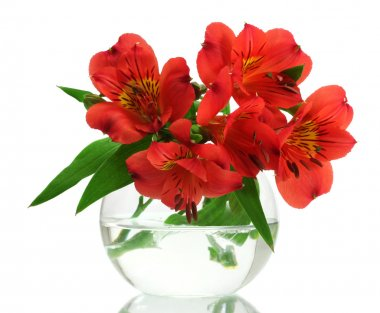 Alstroemeria red flowers in vase isolated on white
