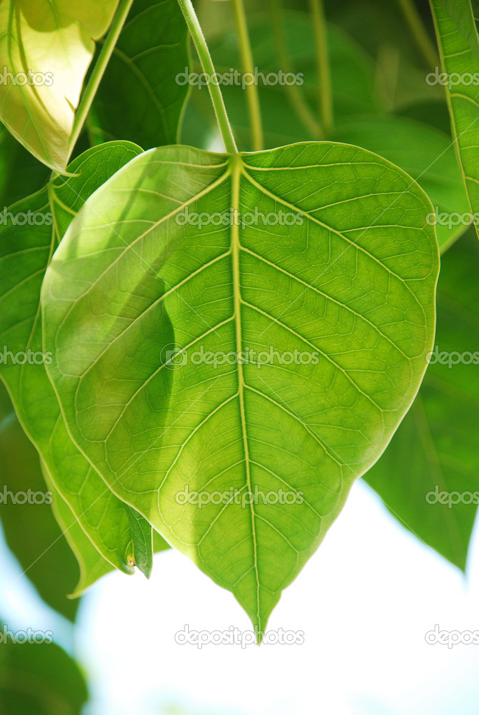 Bodhi or Peepal Leaf from the Bodhi tree, Sacred Tree for Hindus and Buddhist