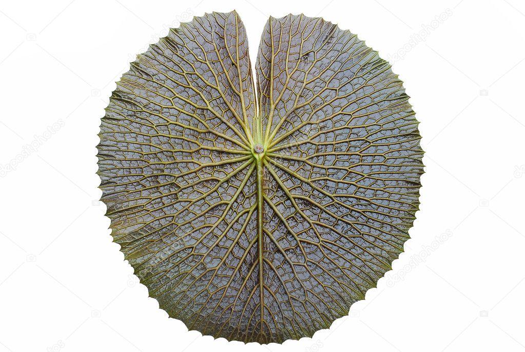 Texture of Victoria lotus leaf