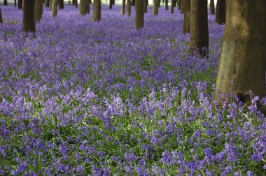 Bluebells carpet the floor in a woodland area stock vector