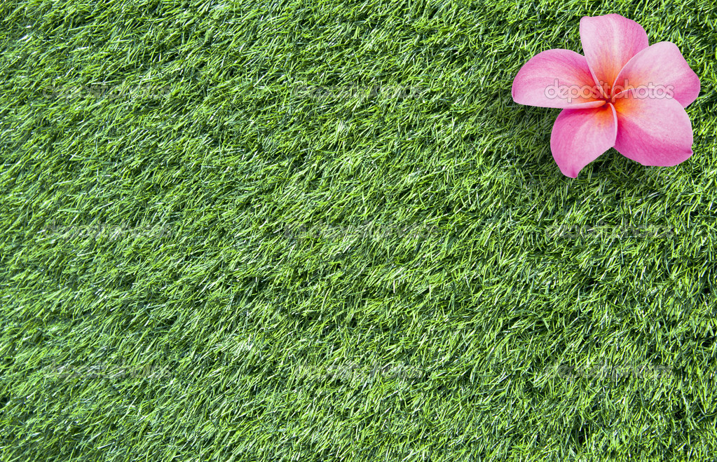 Frangipani flower on grass background