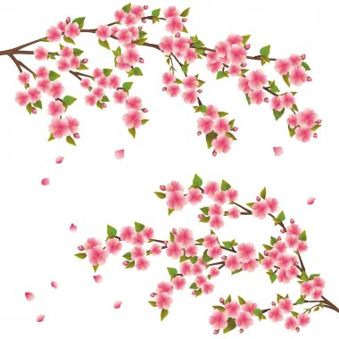 Sakura blossom - Japanese cherry tree over white, vector