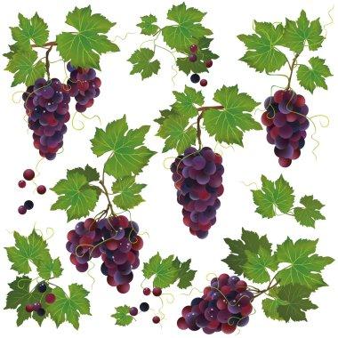 Set of black grape isolated on white background