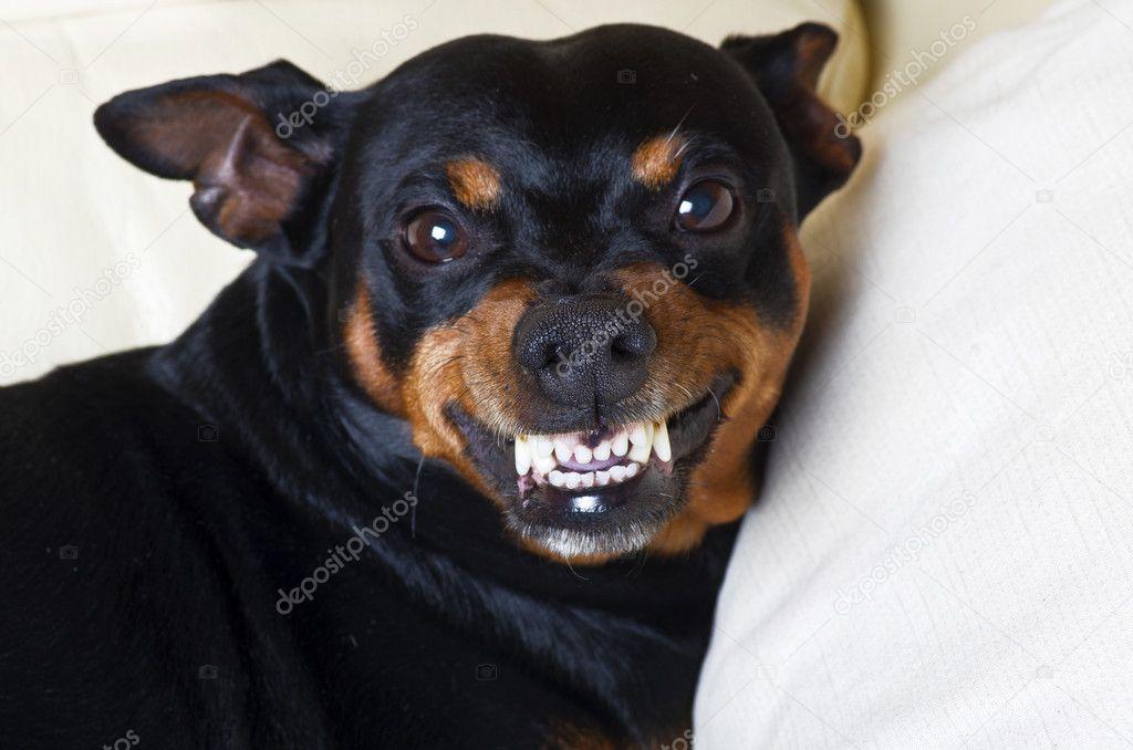 pincher dog stock photo orlando b 10390183
