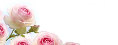 Flowers background, pink roses