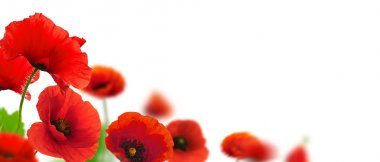 Red poppies flowers