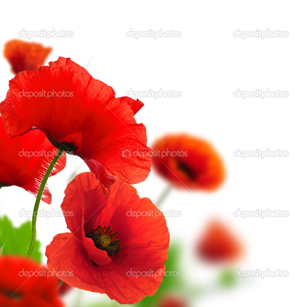 Spring flowers - poppies