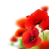 Fotografie Poppies flowers background - frame